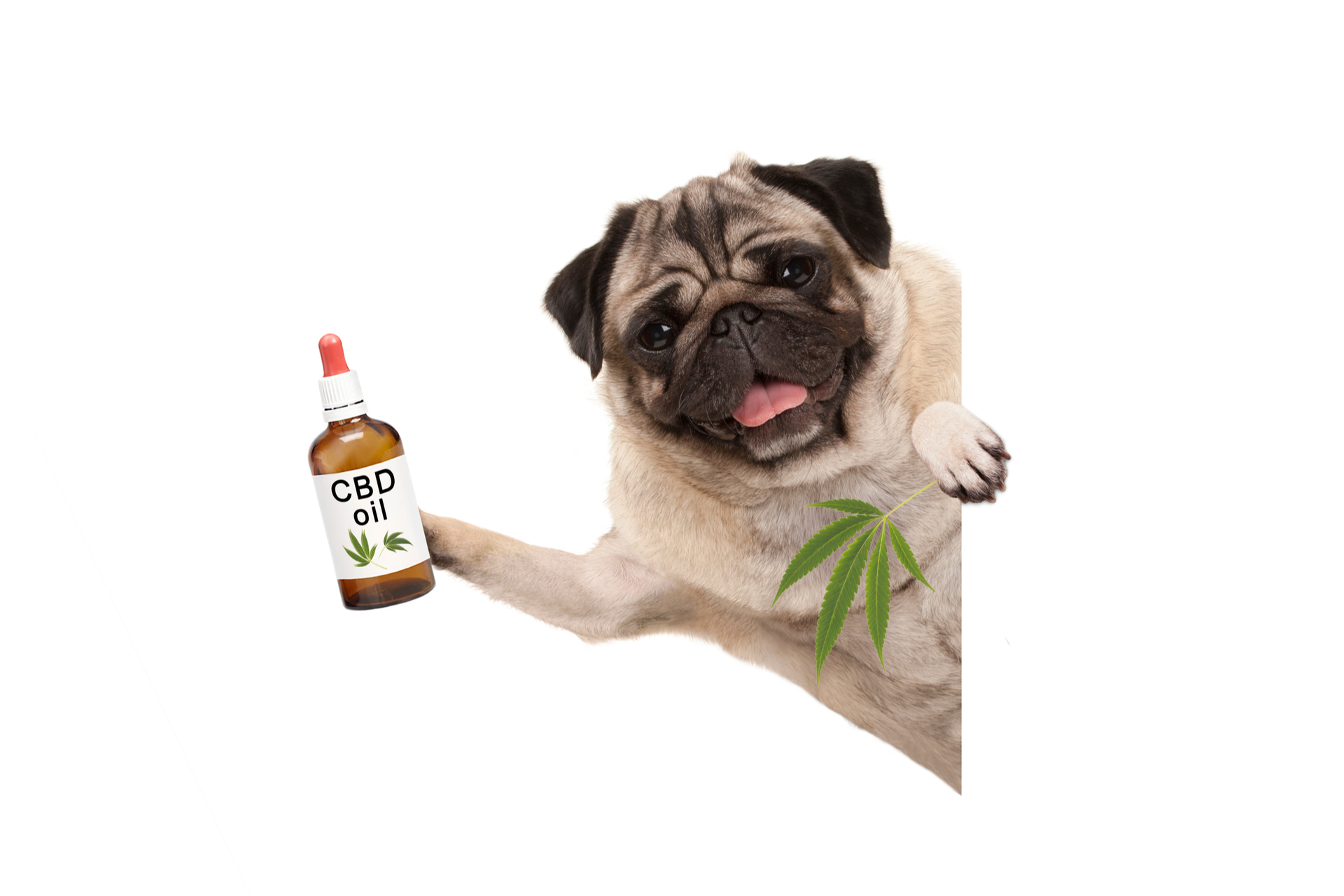 cute smiling pug puppy dog holding up bottle of CBD oil